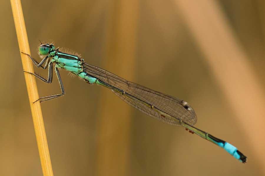 Lantaarntje-(Ischnura-elegans)
