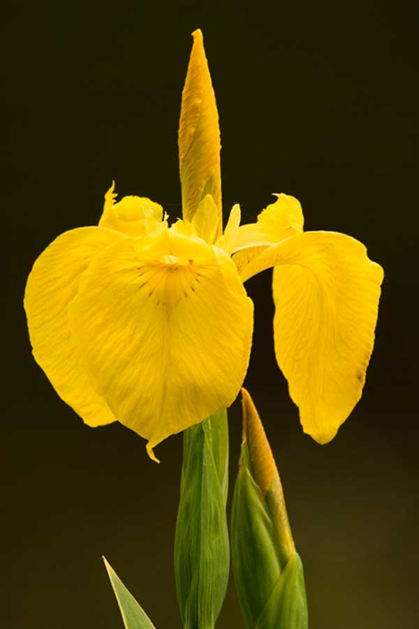 Lis (geslacht Iris)