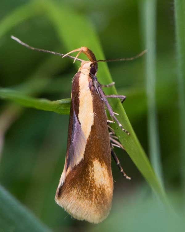 Nachtvlinder---Bruine-molmboorder-(Harpella-forficella)