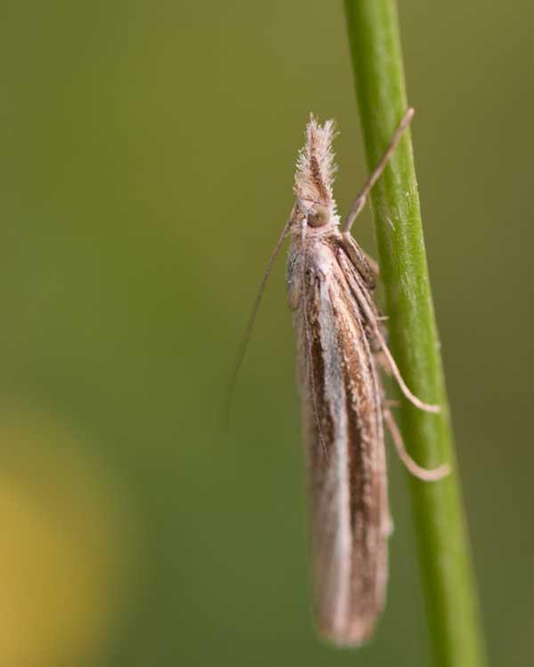 Variabele-grasmot-(Agriphila-tristella)