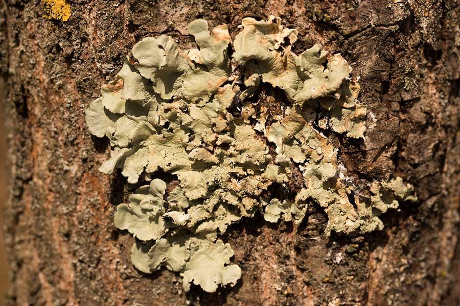 Bosschildmos (Flavoparmelia caperata)