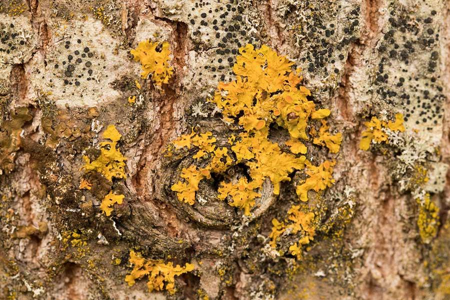 Groot-Dooiermos-(Xanthoria-parietina)-en-Gewoon-Purperschaaltje-(Lecidella-elaeochroma)
