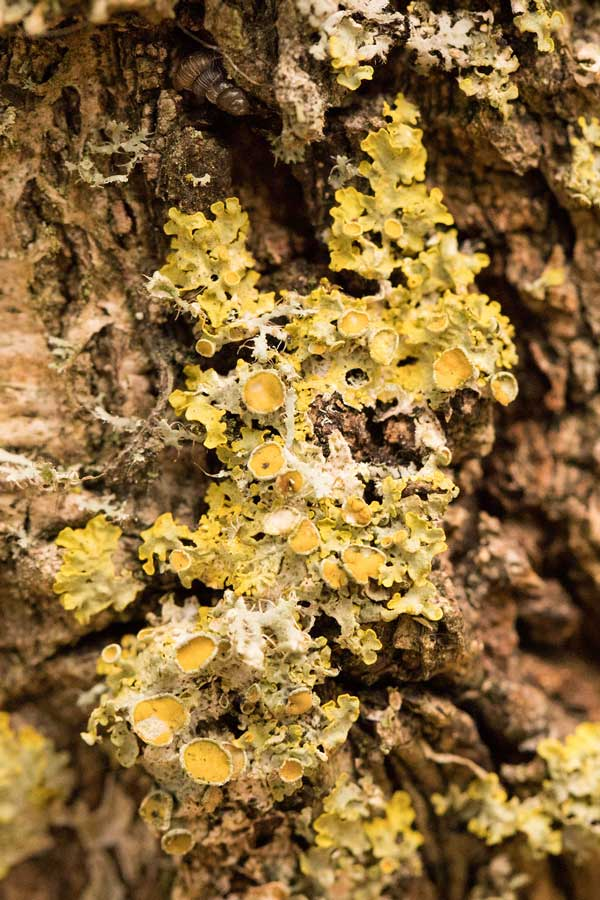 Groot Dooiermos (Xanthoria parietina)
