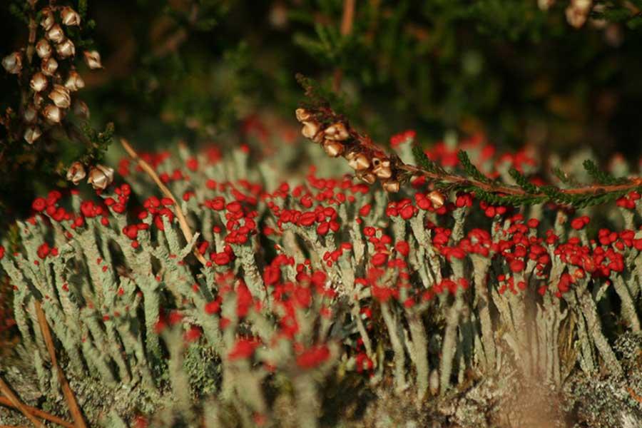 Rode-heidelucifer-(Cladonia-floerkeana)