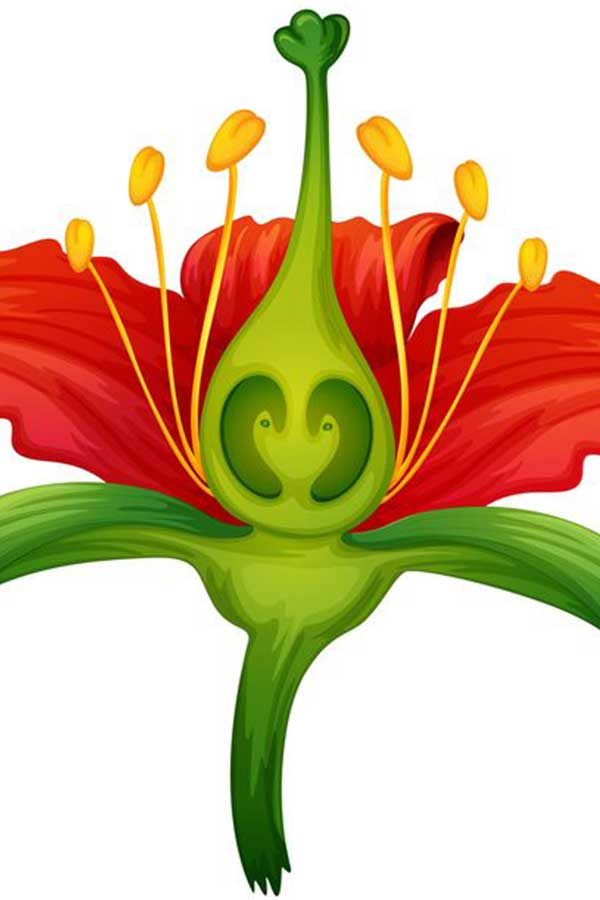 doorsnede en stamper van een bloem