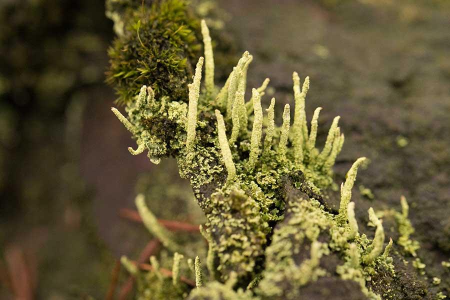 Smal bekermos (Cladonia coniocraea (Flörke) Spreng.)