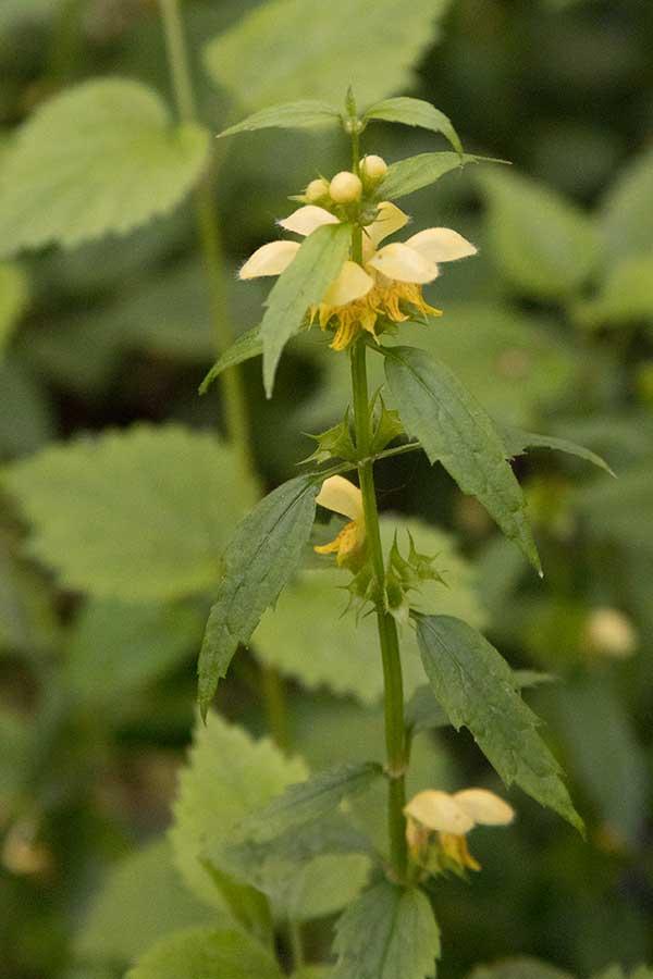 Gele dovenetel (Lamium galeobdolon)
