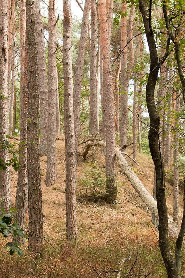 Een begroeide stuifduin, ontstaan na de ontbossingen gedurende de middeleeuwen. Deze worden ook wel de 'Zwarte bulten' genoemd.
