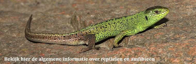 Bekijk-hier-de-algemene-informatie-over-reptielen-en-amfibieen