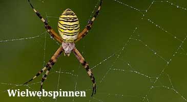 wielwebspinnen