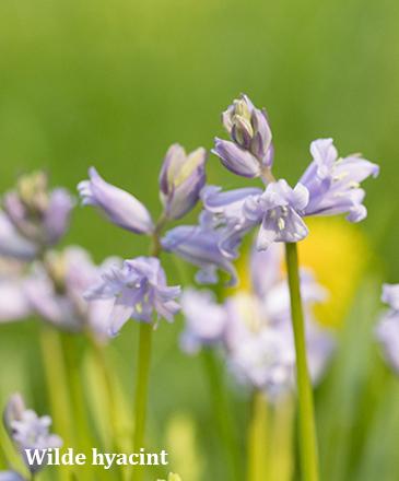 wilde hyacint - boshyacint