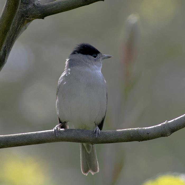 Zwartkop (Sylvia atricapilla)