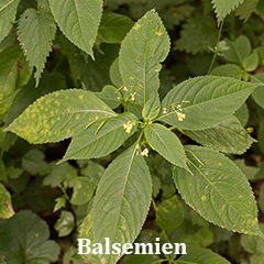 balsemien