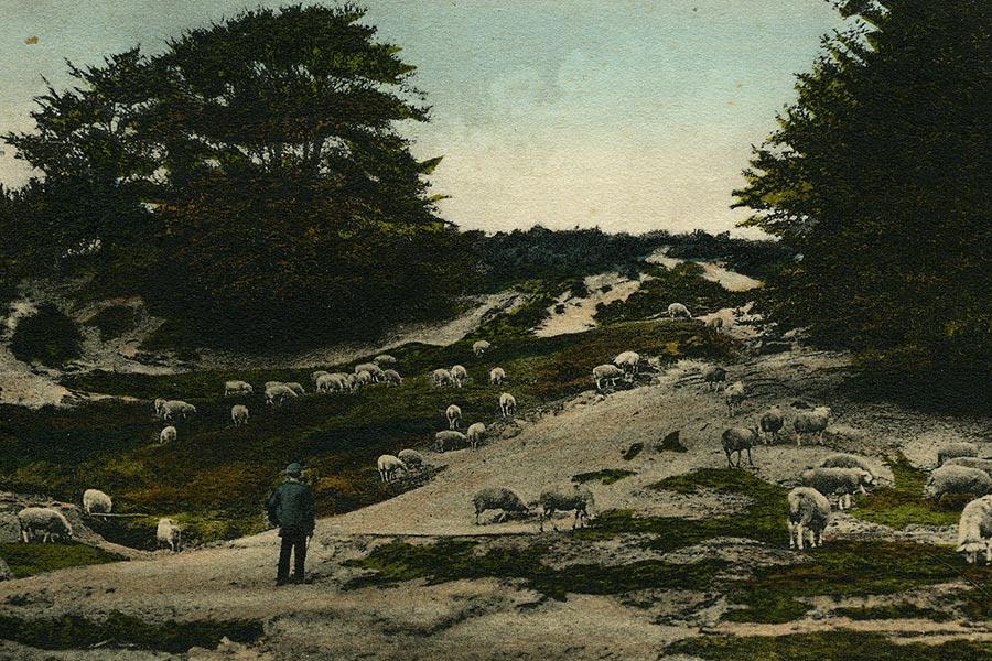 Men liet schapen vaak grazen op de gemeenschappelijke 'woeste' gronden.