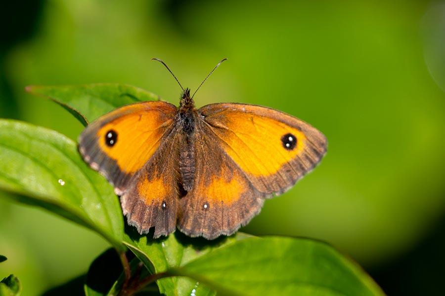 Oranje zandoogje-Pyronia tithonus