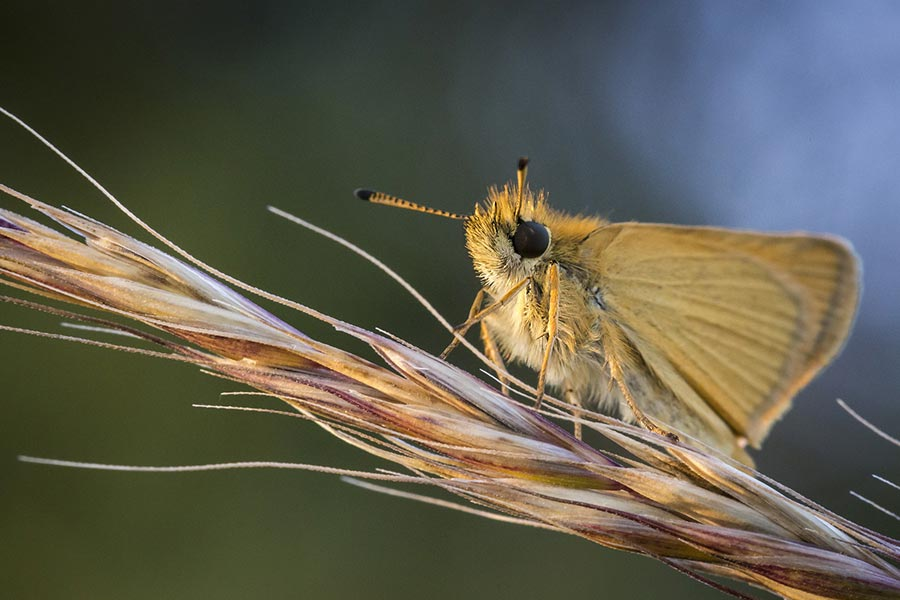 Zwartsprietdikkopje-Thymelicus lineola