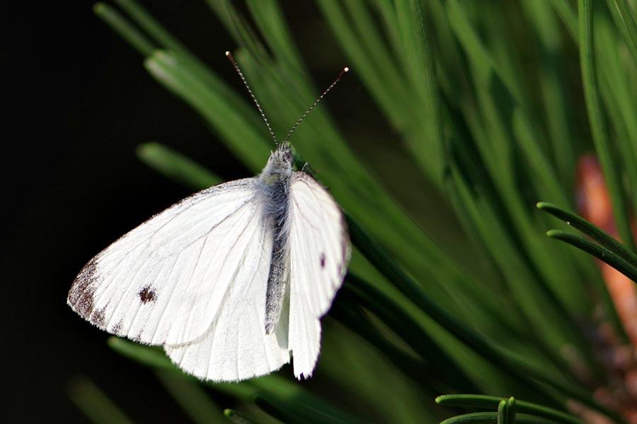 groot koolwitje-Pieris brassicae