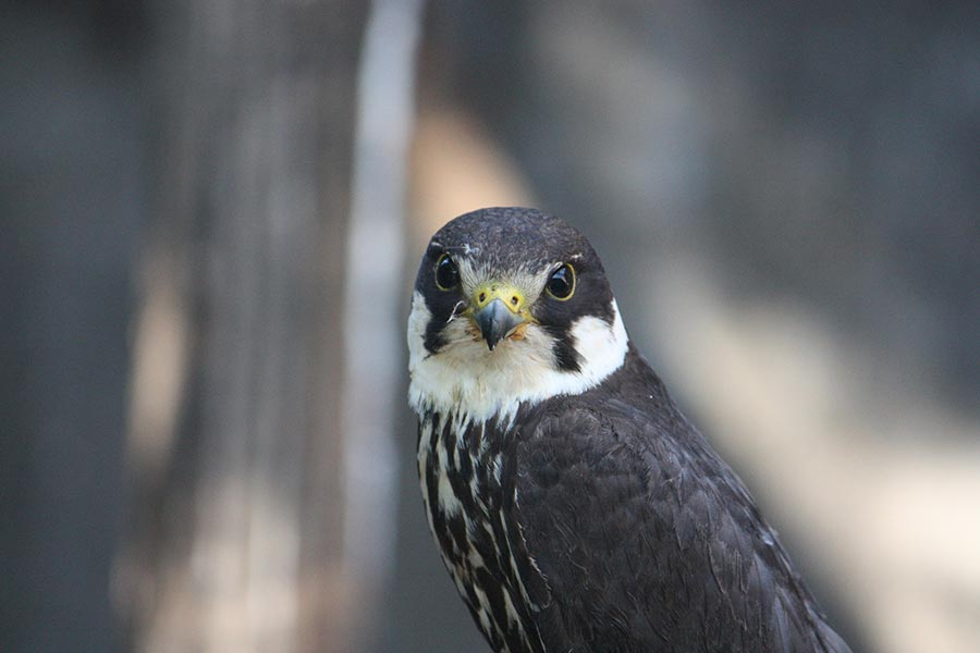 boomvalk-Falco subbuteo
