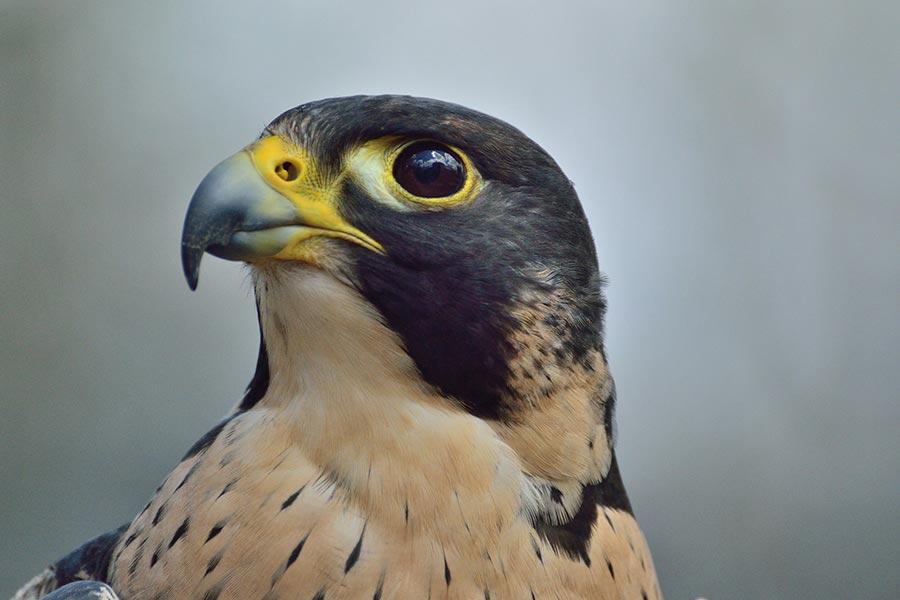 slechtvalk-Falco peregrinus