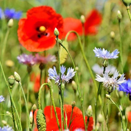 bloemenweide in de buurt