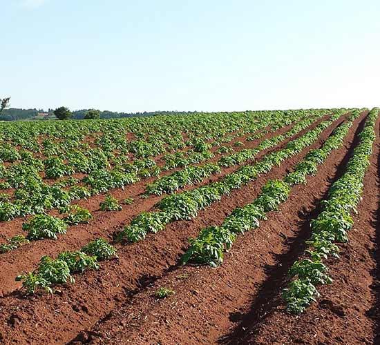 Aardappelplanten worden door de wind en insecten, vaak hommels, bestoven. Aardappelplanten worden door de wind en insecten, vaak hommels, bestoven.