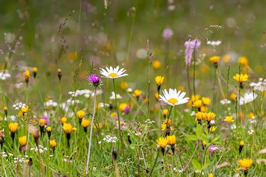 Akkerranden die ingezaaid zijn met bloemen zijn mooi om te zien en trekken insecten en vogels aan.