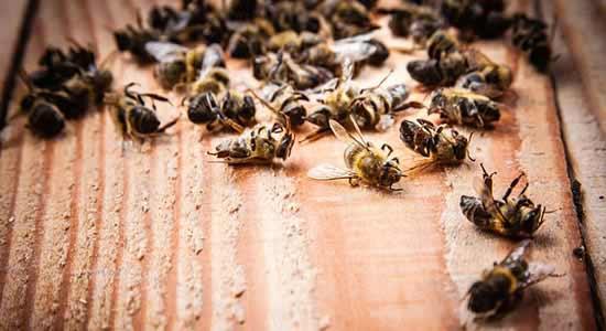 Bijen zijn erg gevoelig voor glysofaten