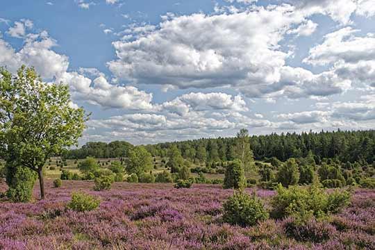 Door de ontbossingen raakte een groot deel van Hoog Nederland bedekt met heidevelden.