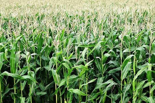 Monotone maisvelden voegen weinig toe aan de biodiversiteit.