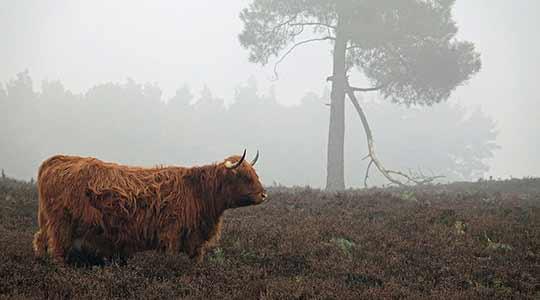 Schotse hooglanders zijn goed bestand tegen ons klimaat.