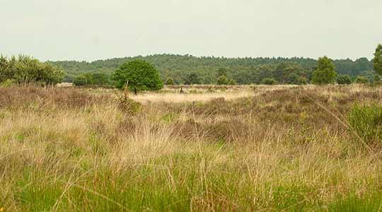 De stikstofdepositie op de hoge zandgronden zorgt ervoor dat het pijpenstrootje de heide gaat overwoekeren.