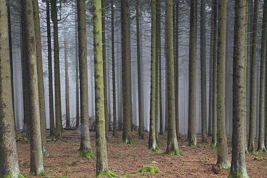 Herbebossing met naaldbomen leverde vaak monotone bossen op.